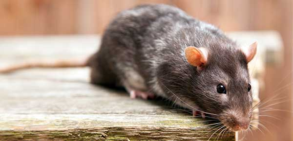 A Guide To Healthy Pet Rodent Care