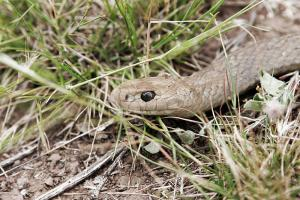 brown-snake