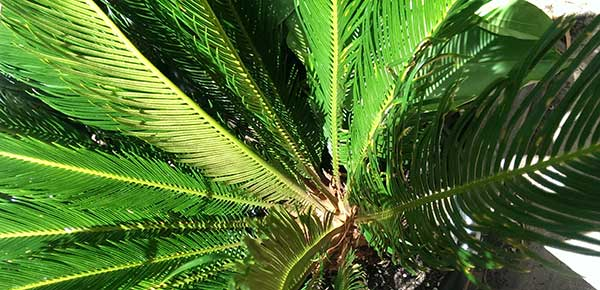 Cycad Toxicity