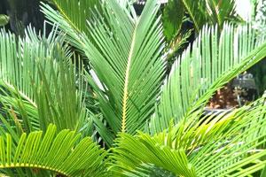 cycad_plant