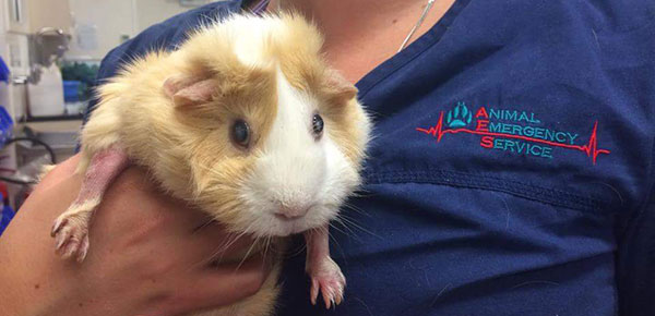 AES Noosaville Saves A Guinea Pig's Life