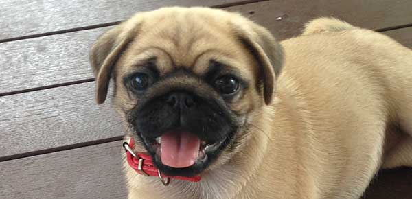 A Guide To Brachycephalic Airway Syndrome
