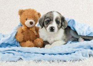 Cute puppy laying in a blue blanket with a teddy bear.