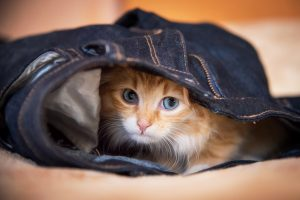 Adorable little kitten with blue eyes sleeping in a jeans