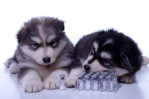 Welpen beim Impfen