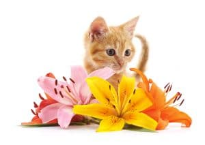Brown kitten and lily.