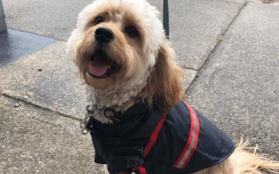 How Leo the Cavoodle overcame a car accident